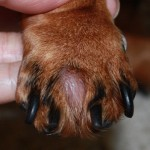 Dog abscess paw