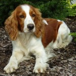 Welsh_Springer_Spaniel_909694