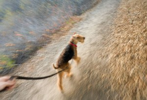 airedale_terrier 11