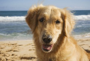 golden_retriever 13