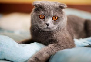 scottish-fold