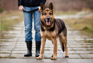 german-shepherd-dog-walking